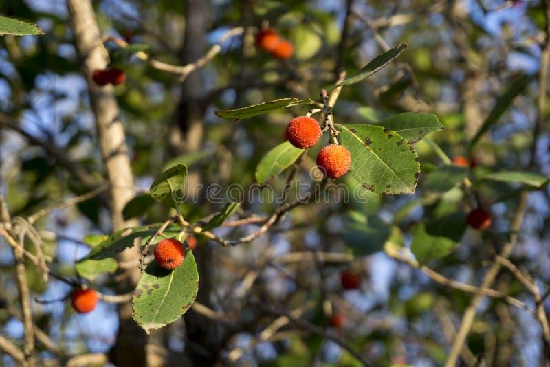 Download Włochy, Tuscany, Val D ` Orcia, San Quirico D ` Orcia, Bagno Vignoni, Arbutus Drzewo Obraz Stock - Obraz złożonej z czerwień, owoc: 106902355