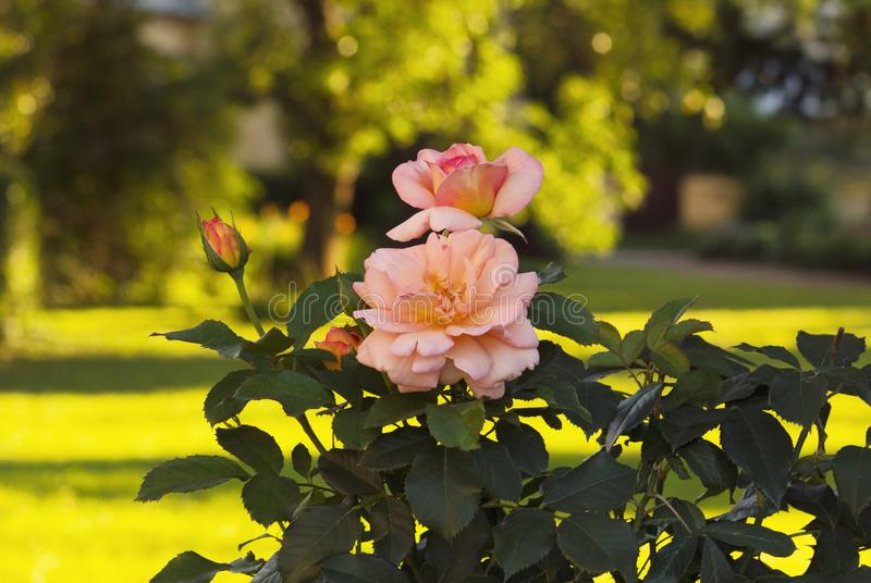 W ogródzie był piękny krzak z różowymi różami i pączkami Krzak wiele zielonych liście zdjęcia royalty free