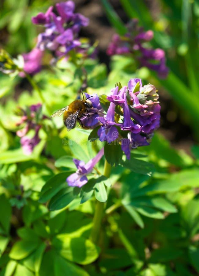W ogródzie pszczoły zbierają miód od kwiatów zdjęcie royalty free