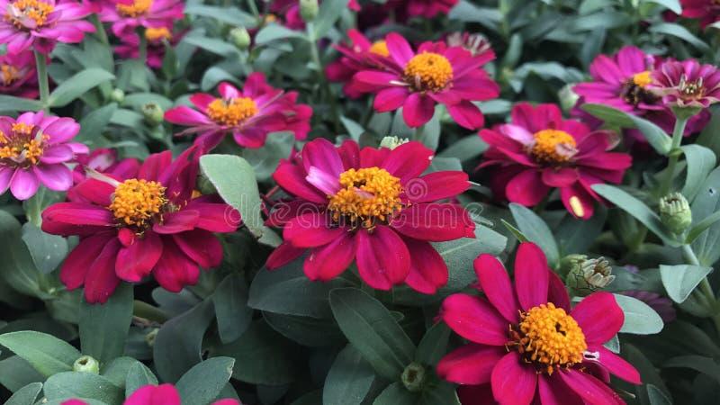 W ogródzie różowe cynie fotografia stock
