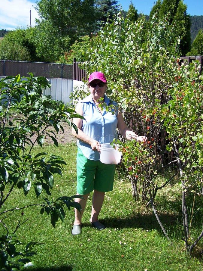 W ogrodowego zrywania czerwonej aktualnej owoc zdjęcie royalty free