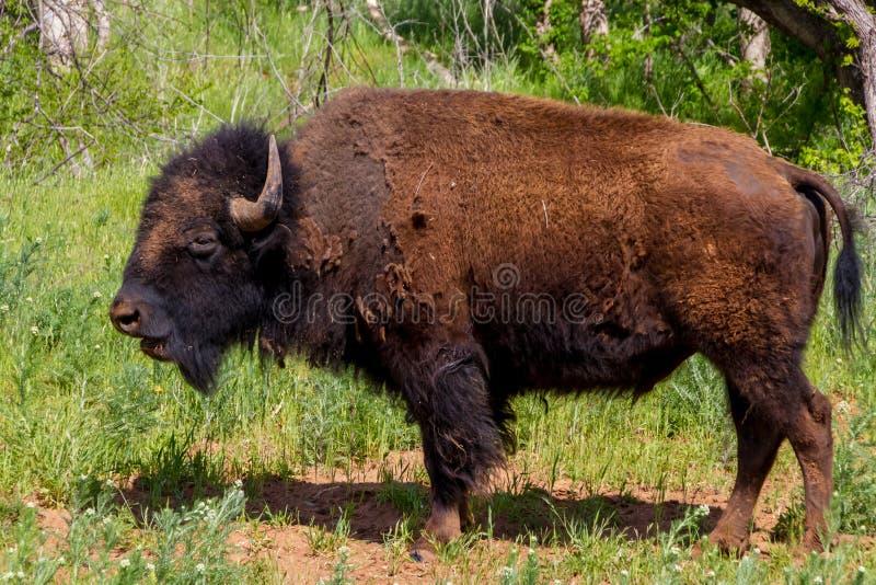 W Oklahoma. Ikonowy Amerykański żubr lub bizon () obrazy stock