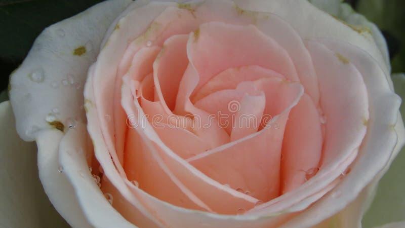 W pełni Rozpieczętowana kości słoniowych menchii róża z Czarnymi punktami Różane choroby zdjęcia royalty free