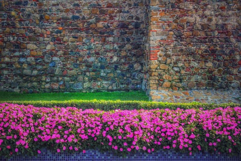 W pełnym kwiacie petunia kwiaty zdjęcie stock