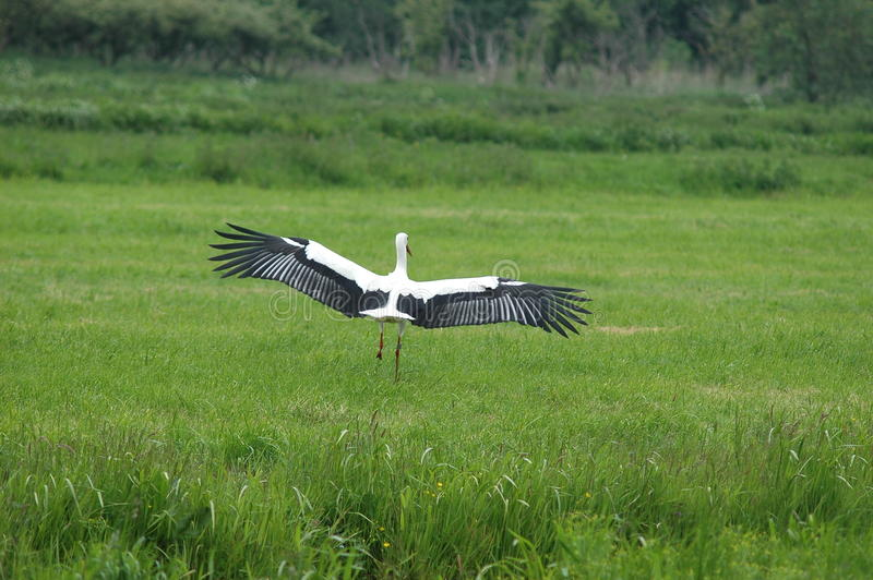 W polu biały Bocianowy lądowanie fotografia stock