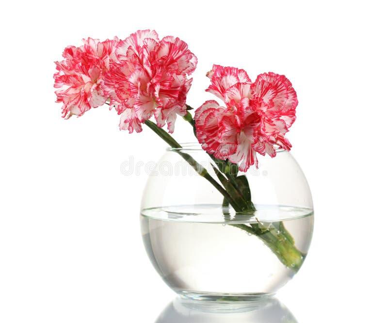 W przejrzystej wazie piękni goździki zdjęcie stock