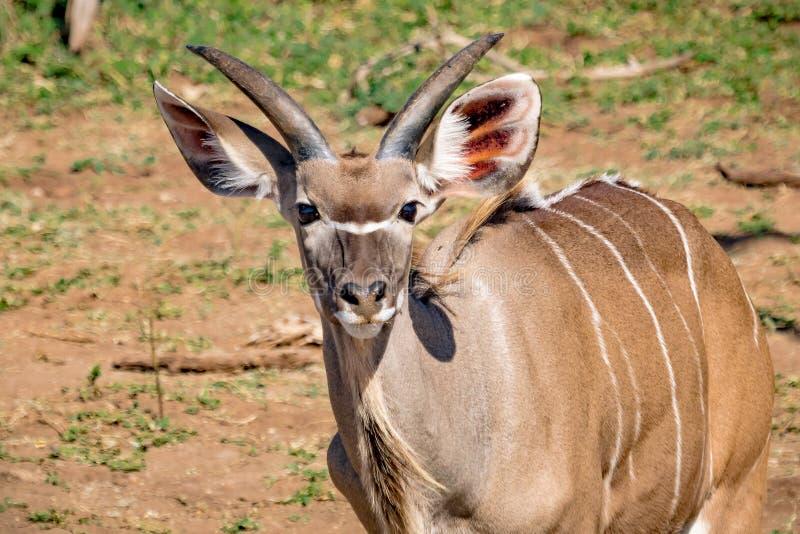 W przybliżeniu 12 miesięcy Nyala stara samiec blisko Chobe rzeki w Botswana obraz royalty free