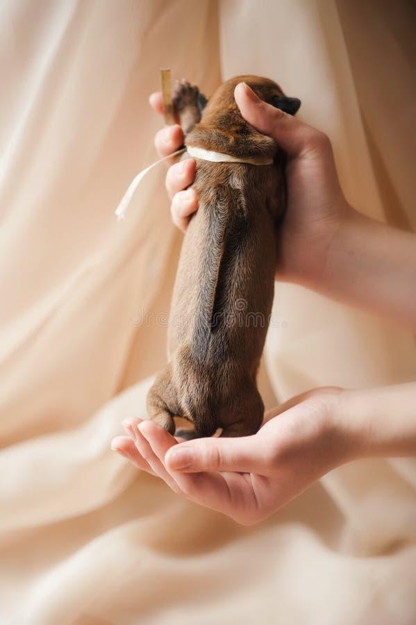 W rękach śliczny nowonarodzony szczeniak zdjęcie stock