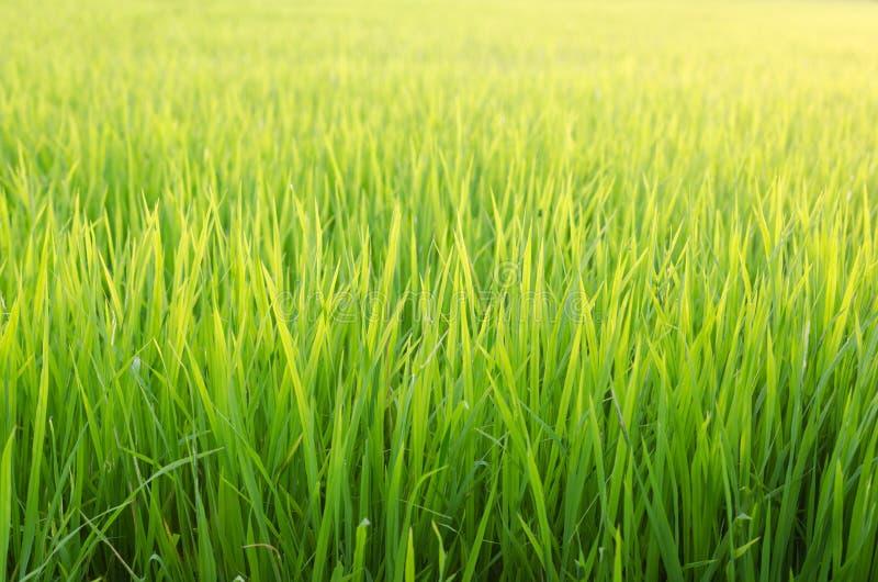 W ryżu polu ryżowa roślina zdjęcia royalty free