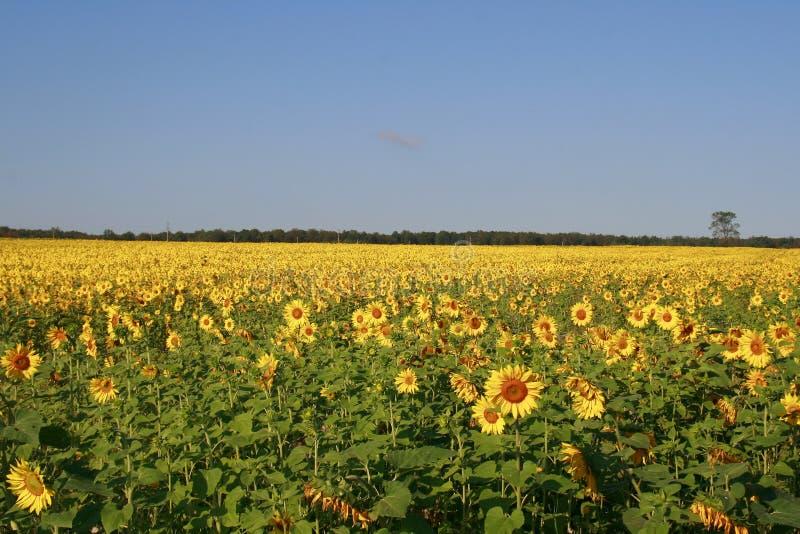 W słonecznikowym polu rósł i dojrzewał obrazy stock