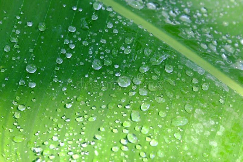W selekcyjnej ostrości wiele kropelki na zielonym tropikalnym bananowym liściu z słońca światłem dla tła tła obrazy stock