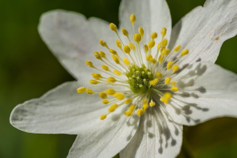 W sercu kwiatu zdjęcie royalty free