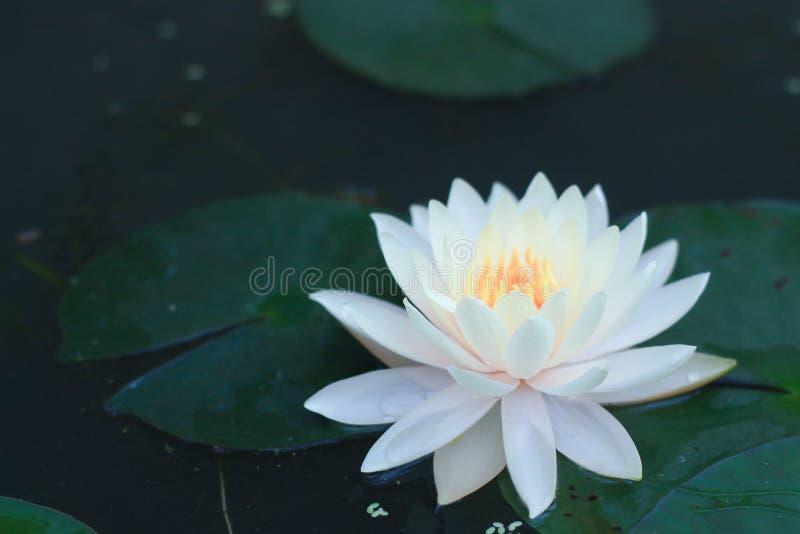 W stawie piękny lotosowy kwiat zdjęcia royalty free