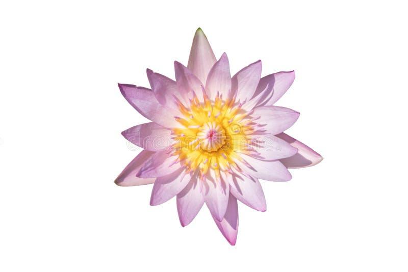 W stawie piękny lotosowy kwiat Wodna leluja odizolowywająca na białym tle fotografia stock