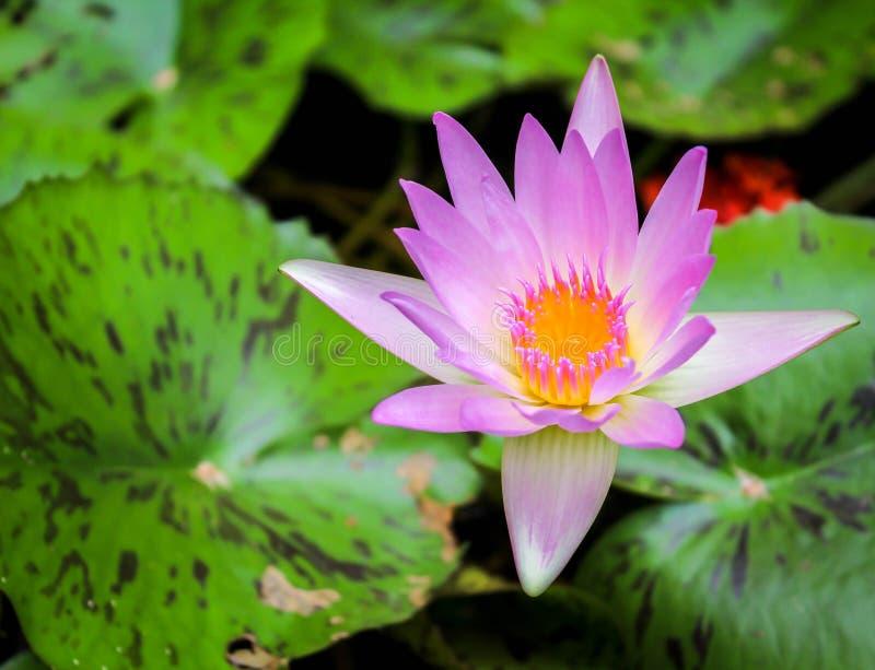 W stawie purpurowy lotos obraz royalty free
