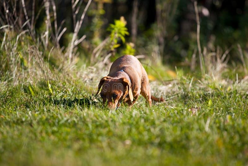 W trawie miniaturowy Jamnik fotografia royalty free