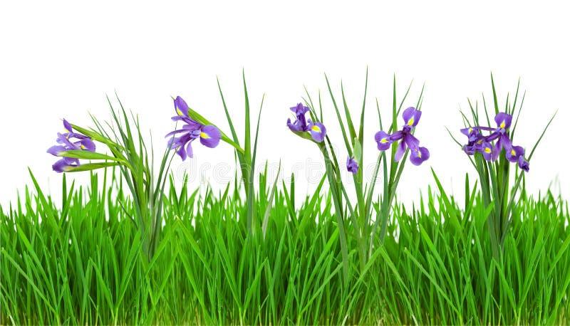 W trawy granicie irysowi kwiaty. Odizolowywający na biel fotografia stock