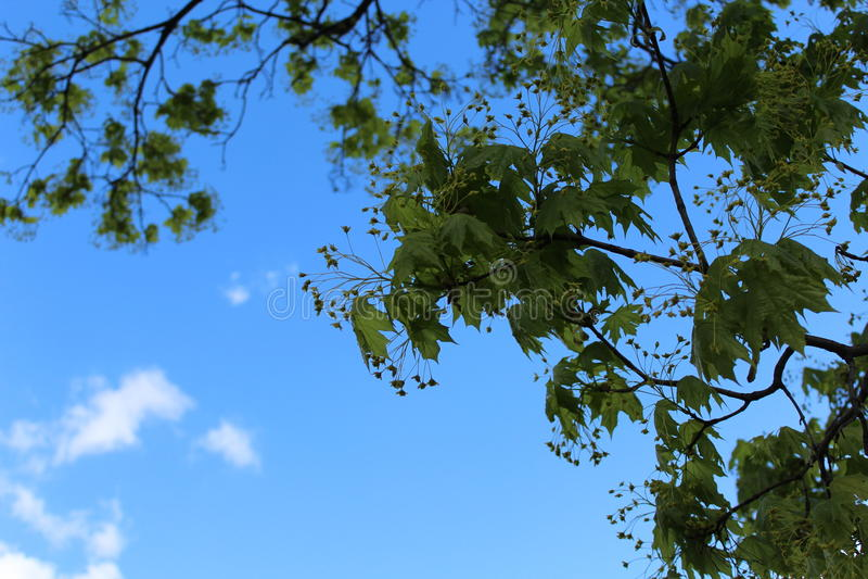 W wiośnie, wielki drzewo kwitnął Ja ` s pogodny wiosna dzień zdjęcie stock