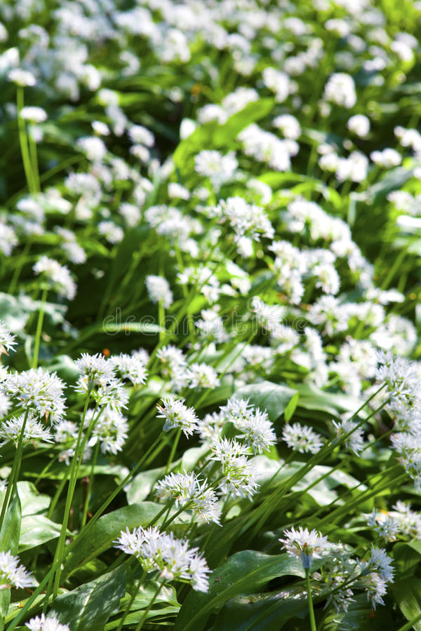 W wiosna dziki czosnek. zdjęcie royalty free
