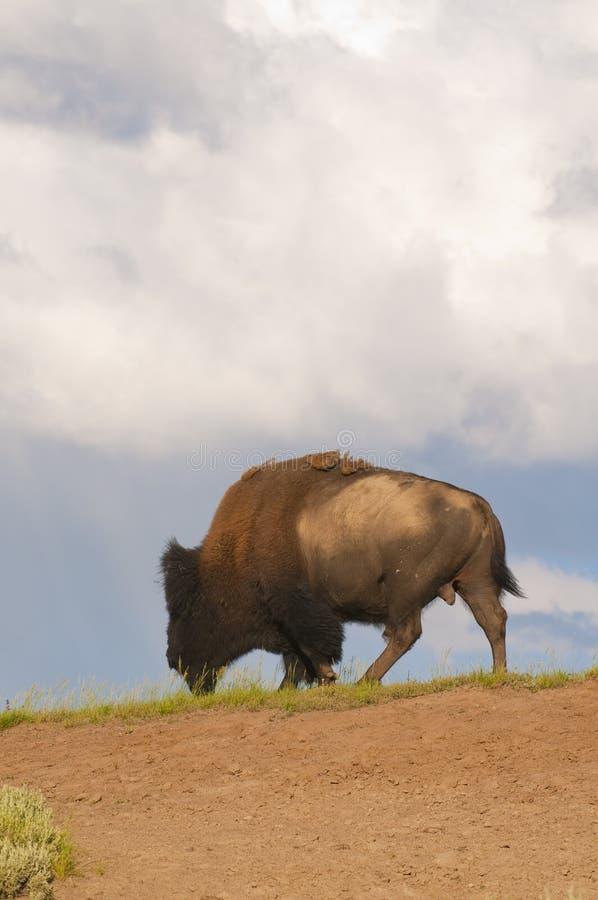 W Yellowstone ikonowy żubr obraz royalty free