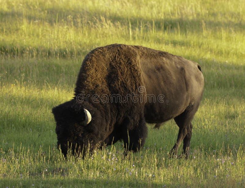 W Yellowstone ikonowy żubr obraz stock