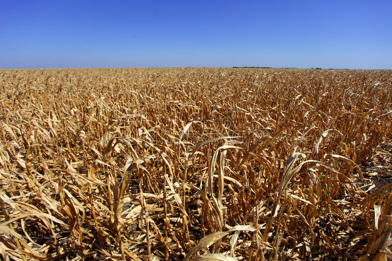 W zły kształcie kukurudzy pole obrazy royalty free