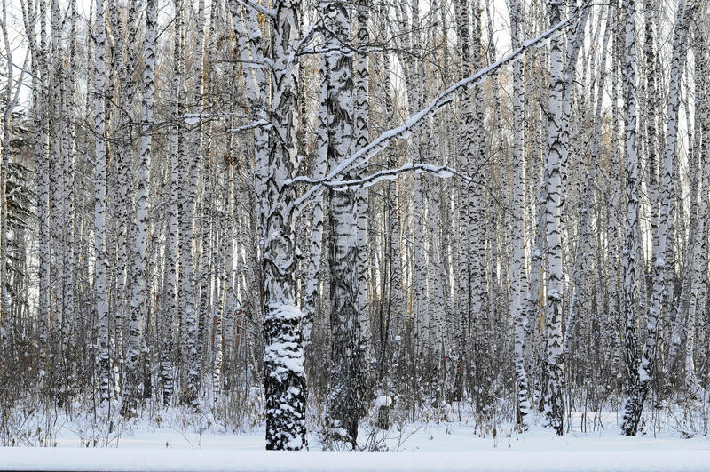 W zima brzozy drewno obrazy stock