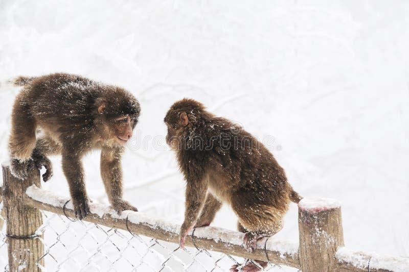W zima dzikie małpy obrazy royalty free