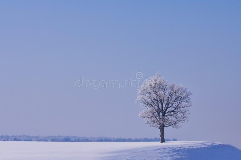W zima osamotniony dąb obraz royalty free
