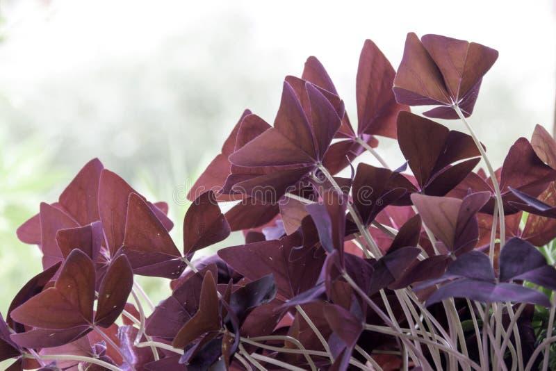 Wałkonię się barwił kwiaty na jaskrawym świetle słonecznym fotografia royalty free