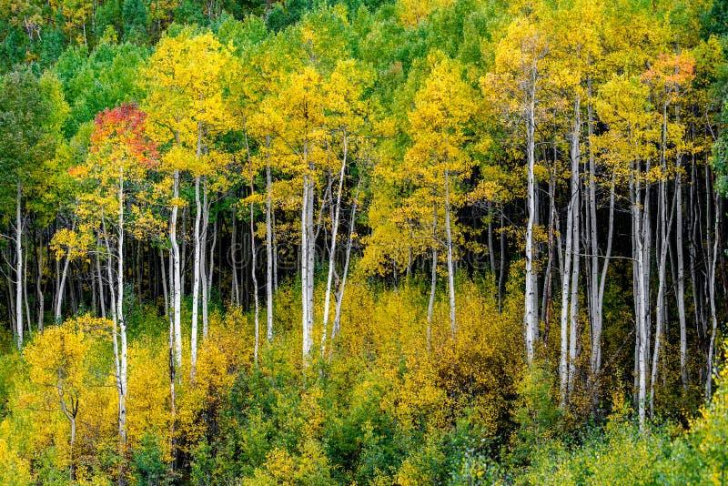 Wałkoni się dzwonu las - Colorado jesieni spadku osikowi kolory fotografia royalty free