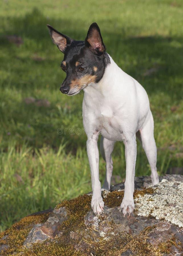 Waakzaam Toy Fox Terrier Posed op een Rots royalty-vrije stock fotografie