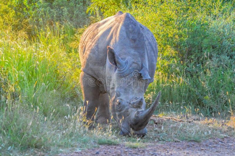 Waakzame en het laden mannelijke stier witte Rinoceros of Rinoceros in een spelreserve tijdens safari in Zuid-Afrika stock foto