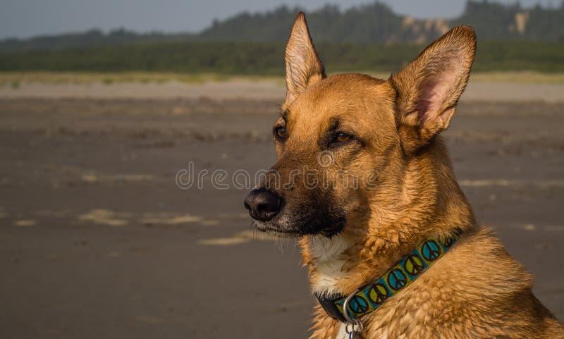Waakzame hond op het strand die op de oceaan letten royalty-vrije stock foto