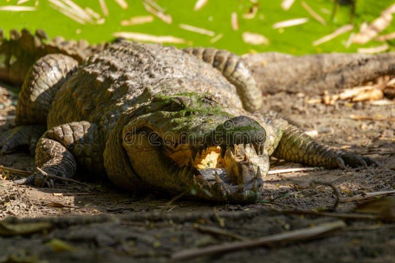 Waakzame krokodil in Gambia stock foto
