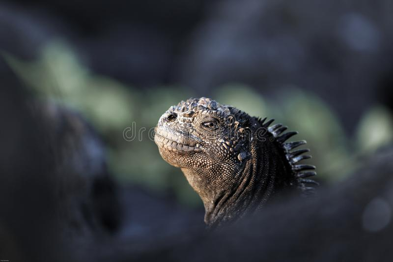 Waakzame mariene leguaan, de Eilanden van de Galapagos stock foto