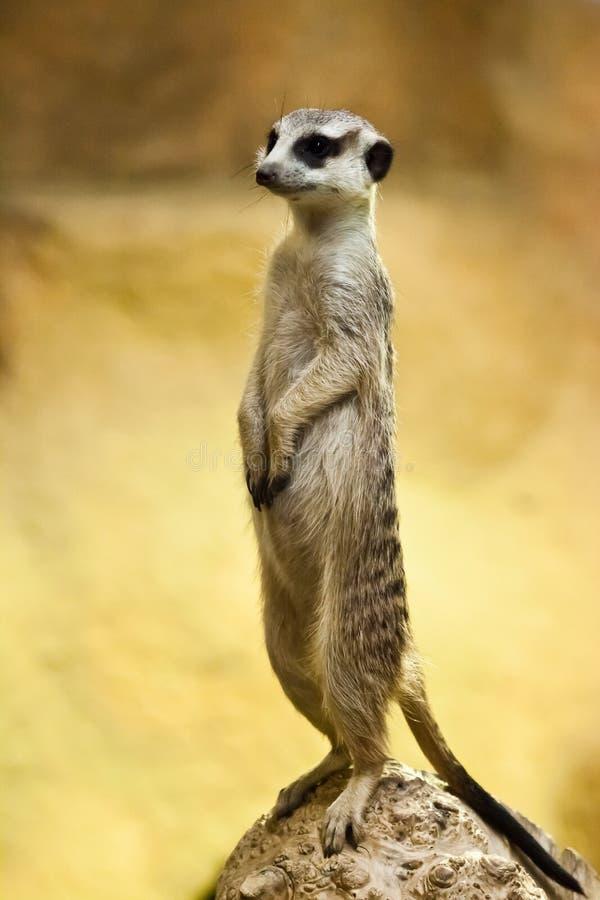 Waakzame meerkat op een geeloranje achtergrond royalty-vrije stock fotografie
