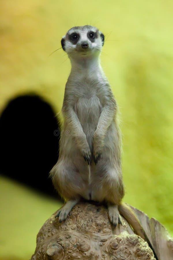 Waakzame meerkat op een geeloranje achtergrond stock foto's