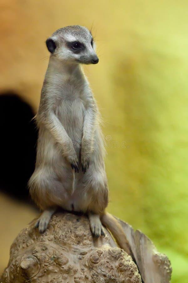 Waakzame meerkat op een geeloranje achtergrond royalty-vrije stock afbeelding