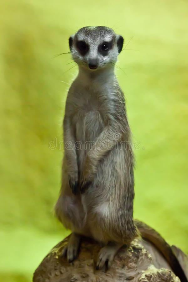Waakzame meerkat op een geeloranje achtergrond royalty-vrije stock foto's