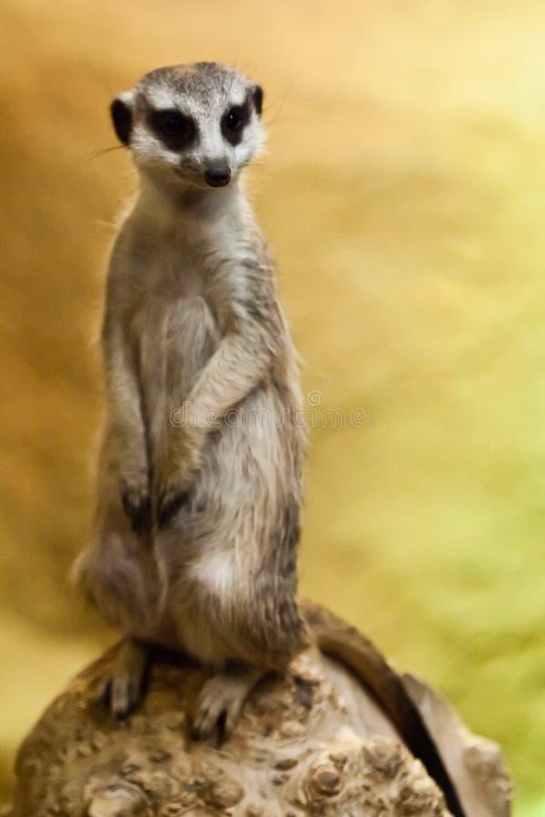 Waakzame meerkat op een geeloranje achtergrond royalty-vrije stock foto