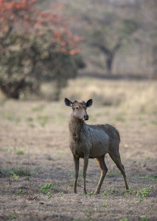 Waakzame sanbar Herten die voor Roofdieren in zomermaanden opletten royalty-vrije stock afbeeldingen