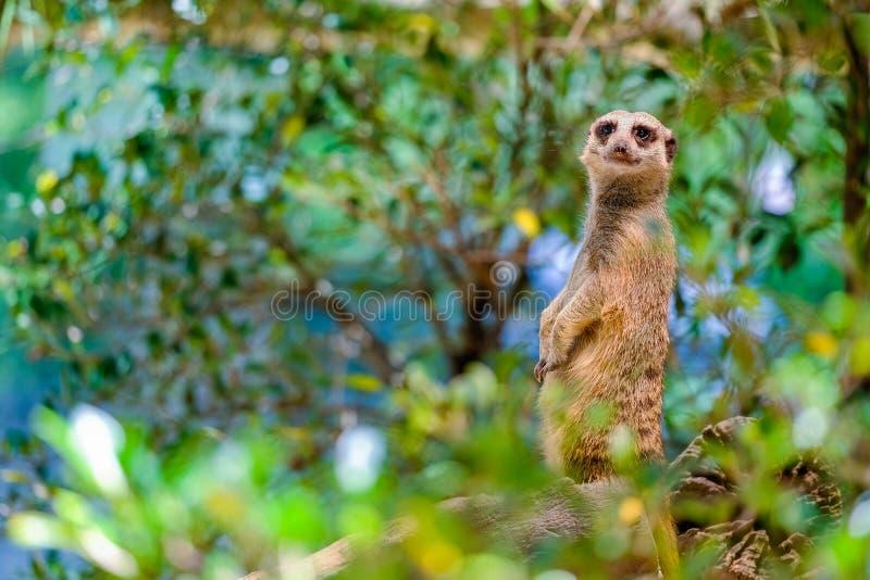 Waakzame suricatta van Suricate of van Meerkat Suricata stock fotografie
