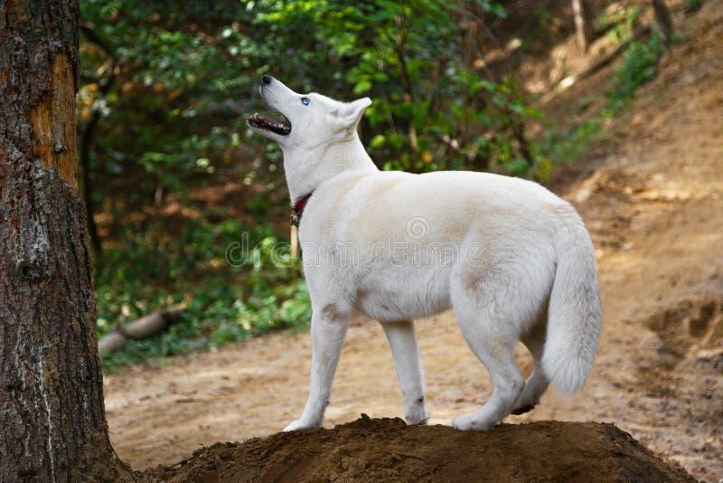 Waakzame witte Siberische Schor hond in openlucht op een berg stock foto