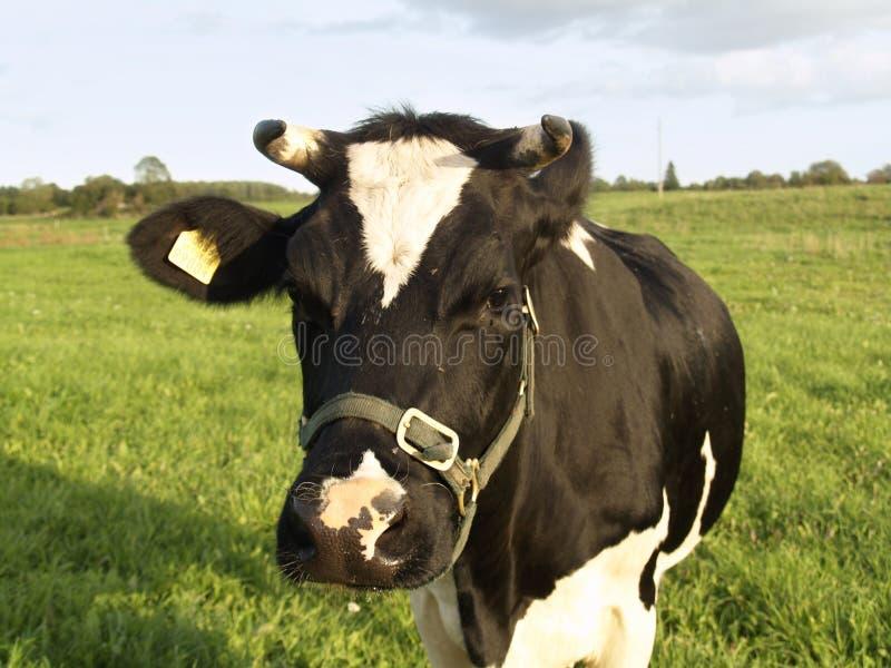 Waar de melk uit komt stock foto