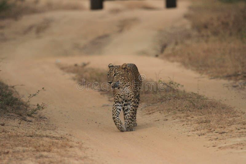 Waarnemen het over lange afstand, die is een bekwame jagersluipaard doorgaan het ` s een unieke huidheld stock fotografie
