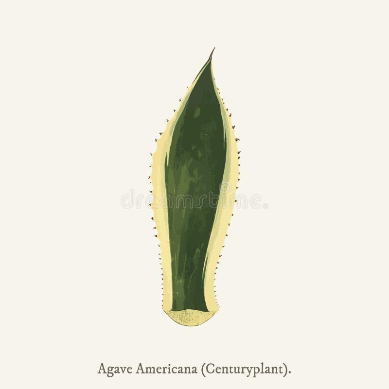 Wach-Betriebs-Agave Americana-Variegata fand im Jahre 1825-1890 Ne vektor abbildung