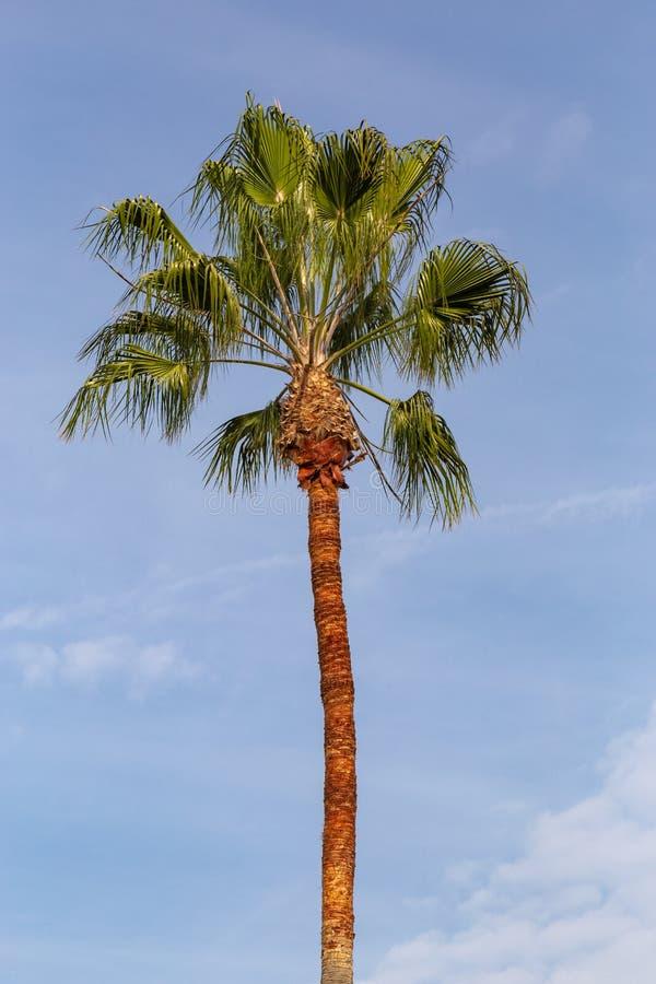 Wachluje Ornamentacyjnego palmowego baldachim na ulicach Los Angeles zdjęcie stock