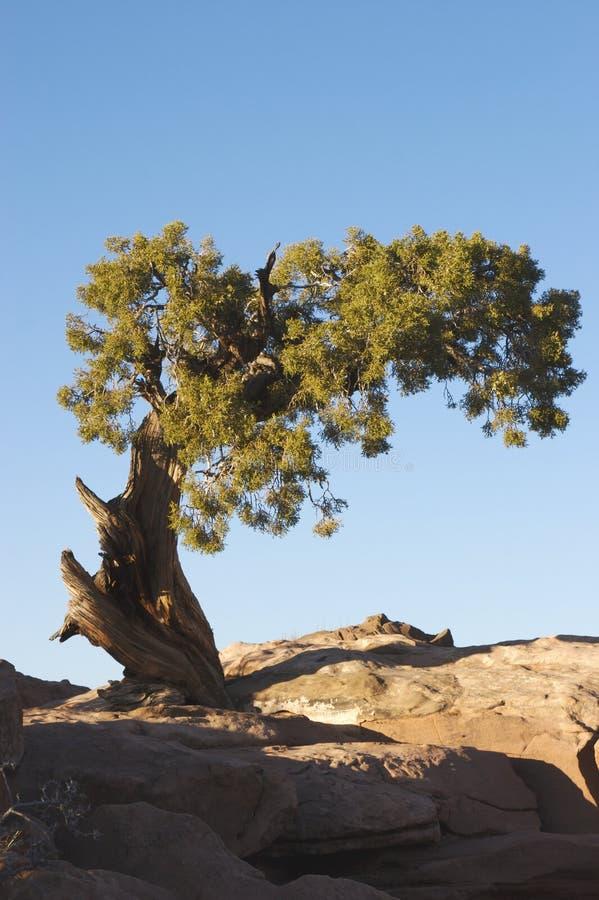 Wacholderbuschbaum am Sonnenuntergang lizenzfreies stockbild
