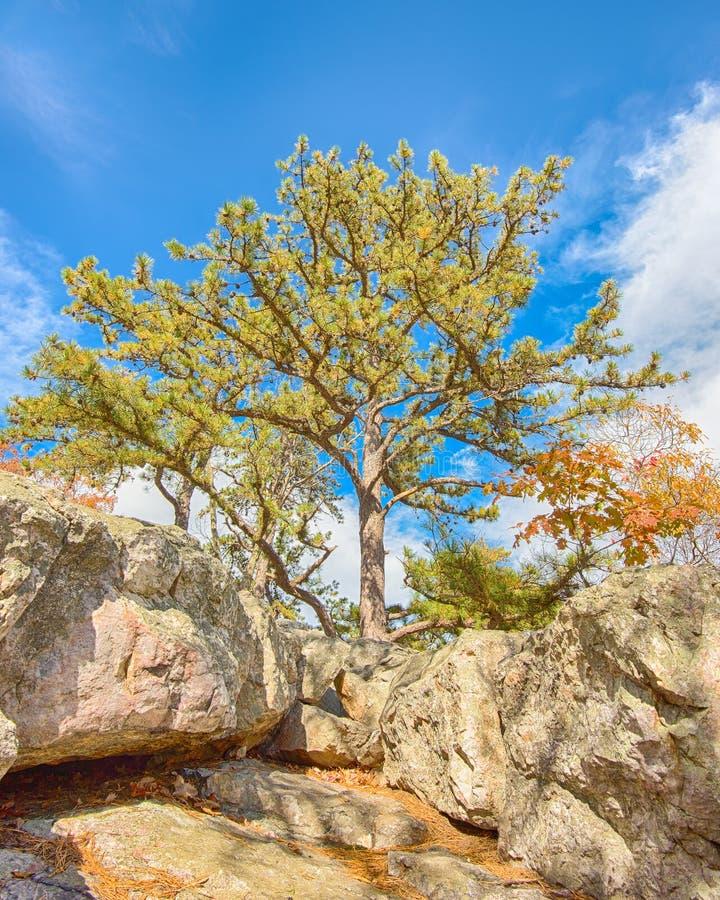 Wachposten-Kiefer, Wolf Rock, Catoctin-Gebirgspark, MD stockbilder